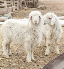 规模化养殖100只肉羊,纯利润轻松破10万