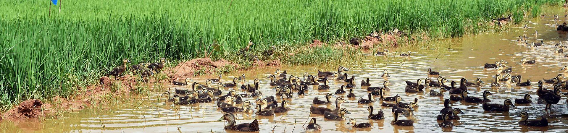 水稻养鸭注意事项