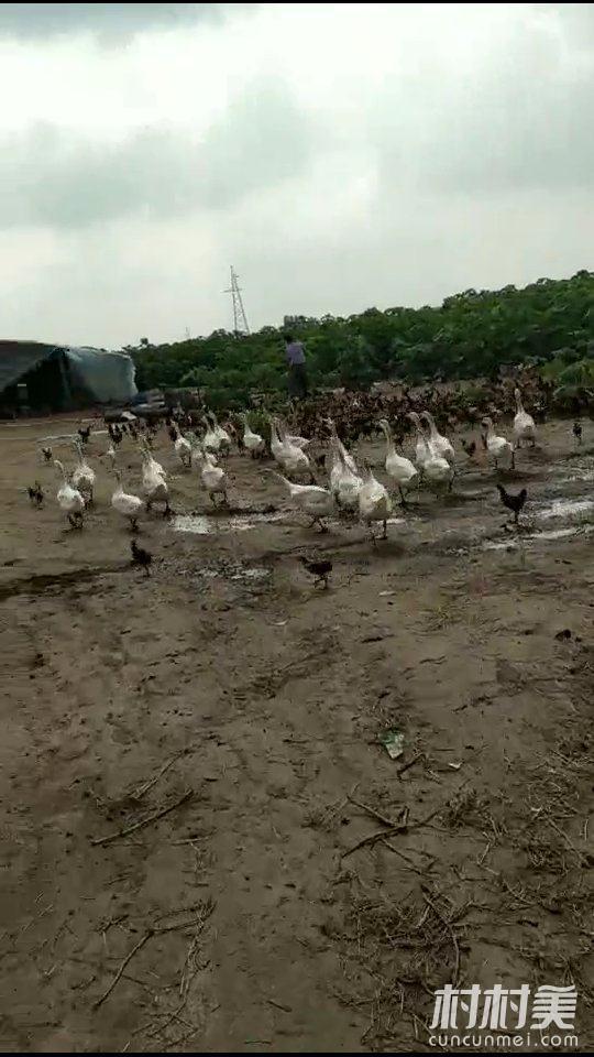 绿色原生态,散养土鸡