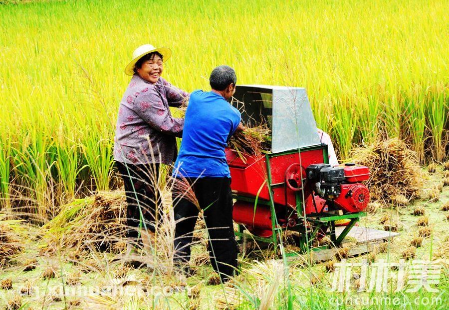 54岁洞口大伯种植五彩水稻 年产值达1000万!