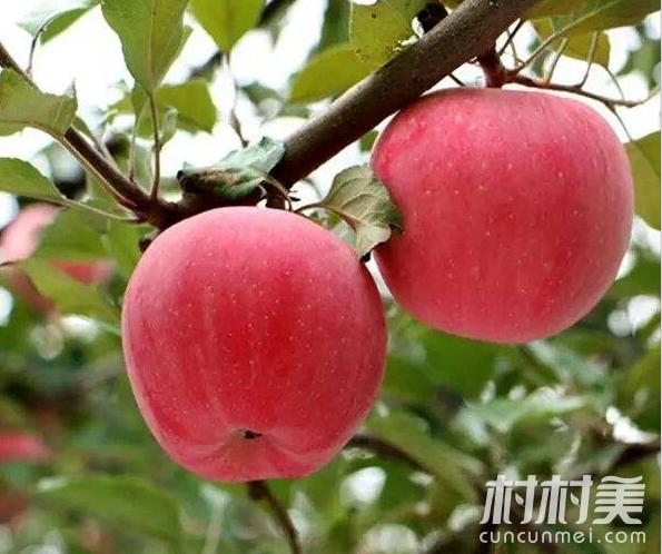 新农人返乡创业,千亩果园年产百万斤苹果