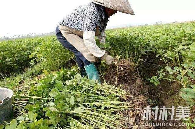 农村妇女种专研种花生技术 带领全村人致富!