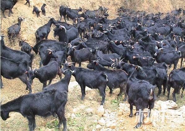 夫妻俩养殖黑山羊,市场前景好供不应求!