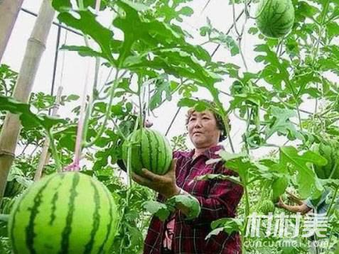 5旬农妇大棚种彩虹西瓜,每亩收入达6万元!
