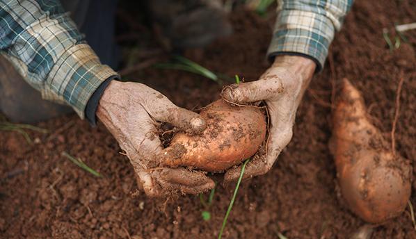 农户靠种植红薯,年收入达十几万!