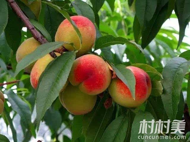 种桃子同样能致富