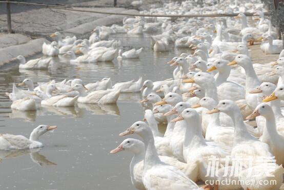 安徽天长大学生王鹏利用荒滩资源返乡创业饲养蛋鸭