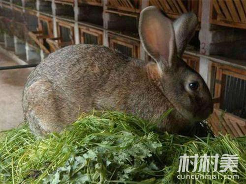 农村饲养20对这样的兔子,纯利润可达四万多元