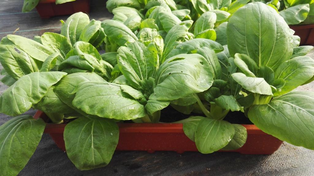 好看又能吃还不用农药,无土种植盆栽蔬菜受热捧