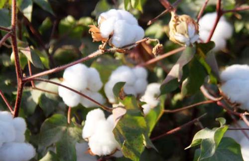 观赏棉花价格高,种植观赏棉花前景好