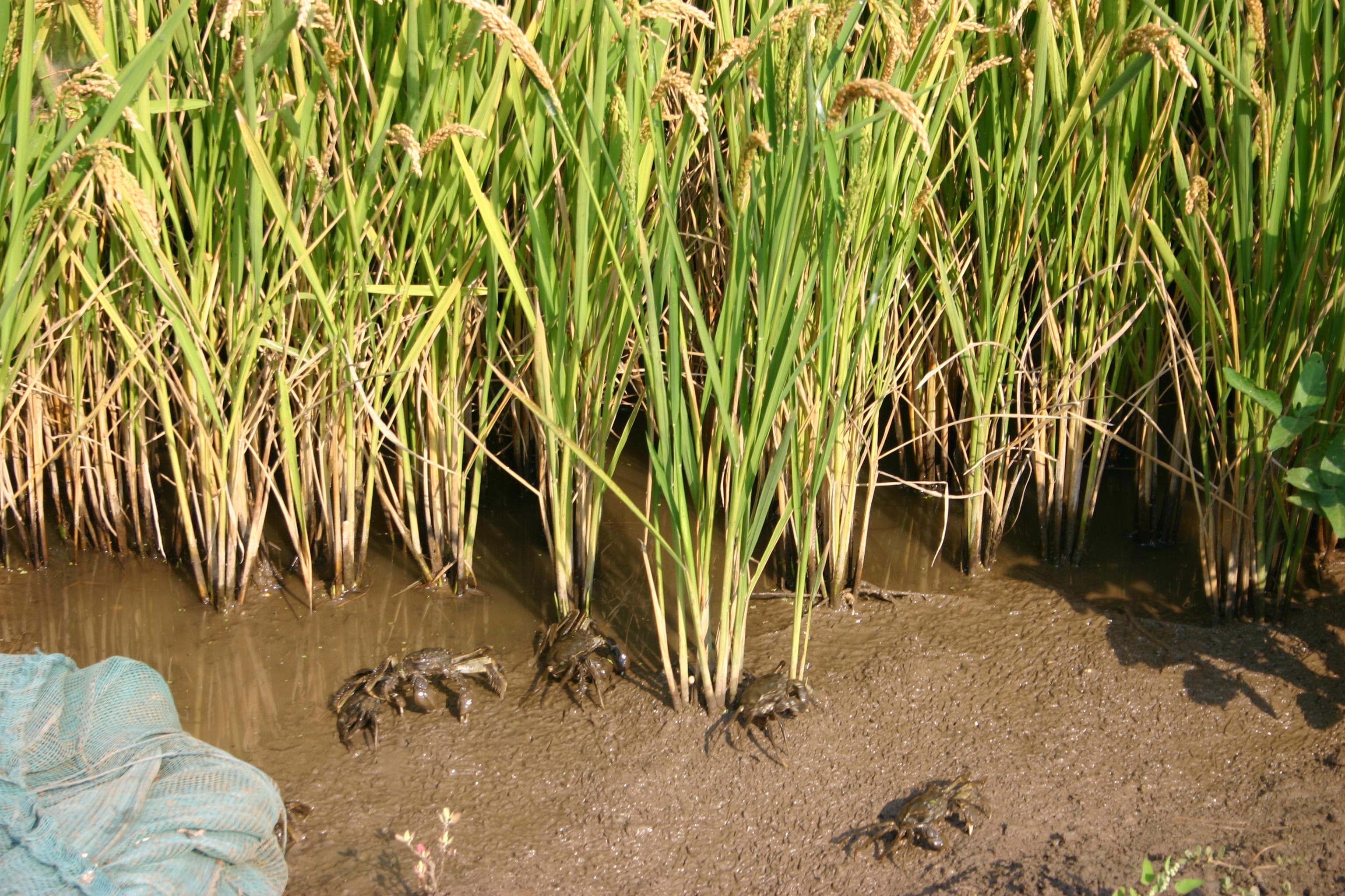 稻田陇间养螃蟹的致富经一亩地赚三十万