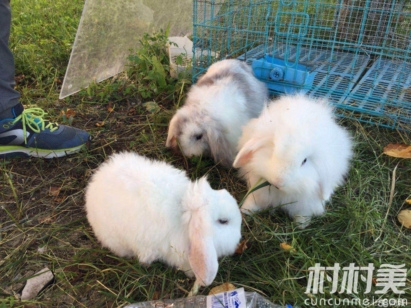农村养什么兔子赚钱?
