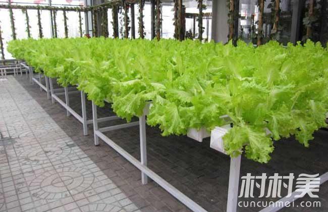 无土水培生菜1亩产值12万,智能全自动,省时又省工!
