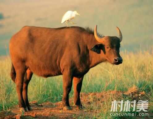 吉林双辽致富能人王立勇肉牛养殖致富经