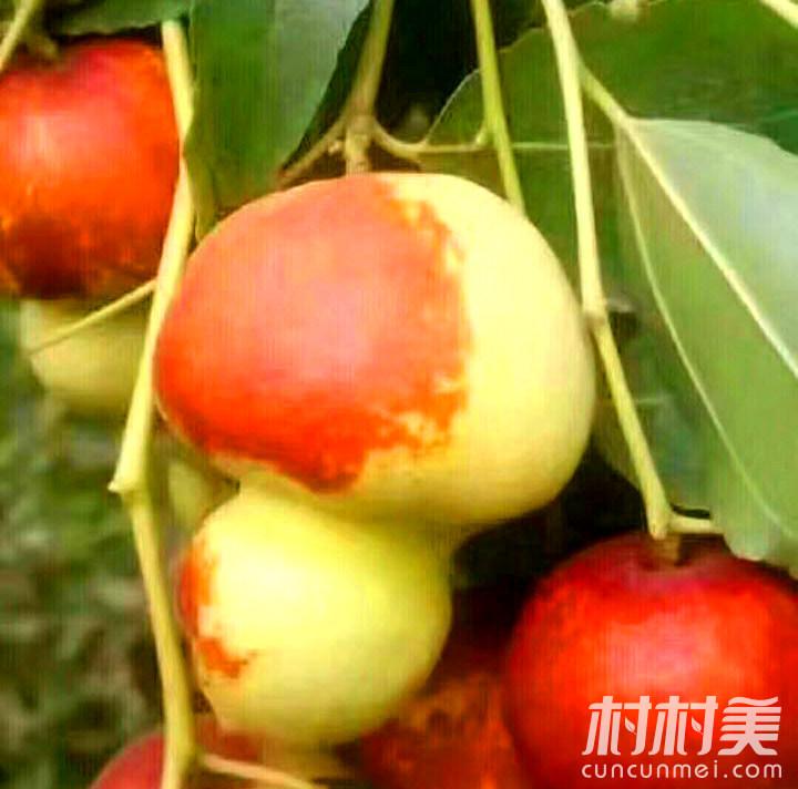 福禄枣树嫁接种植