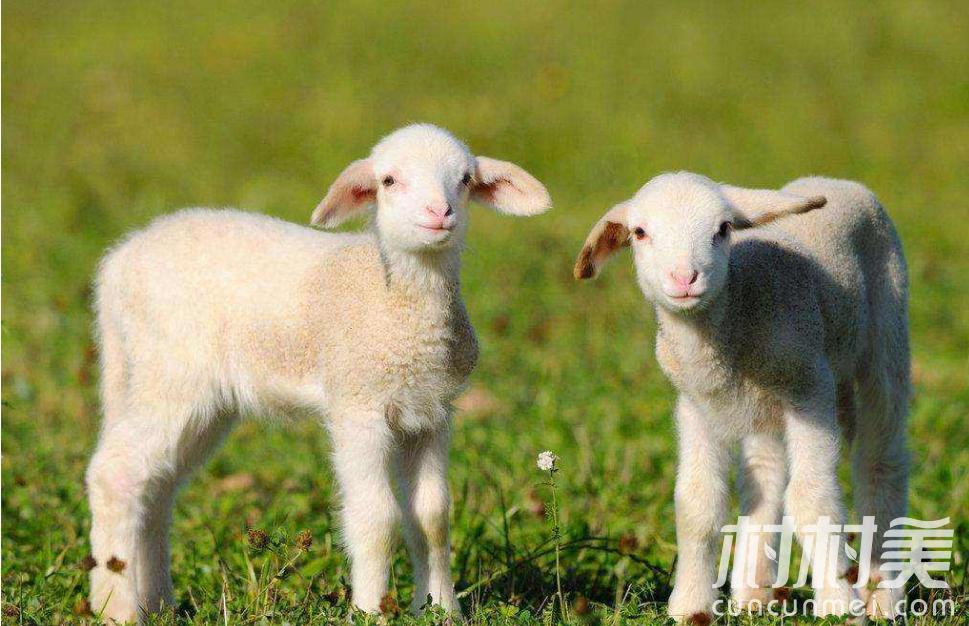 规模化养殖100只肉羊,纯利润轻松破十万