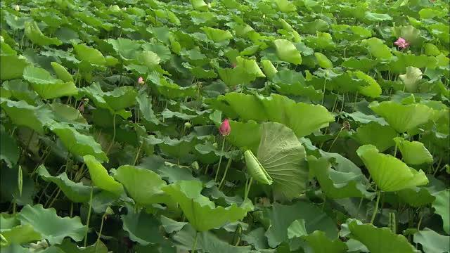 莲藕田套养泥鳅、鱼、小龙虾效益高 一亩纯利润达6000元