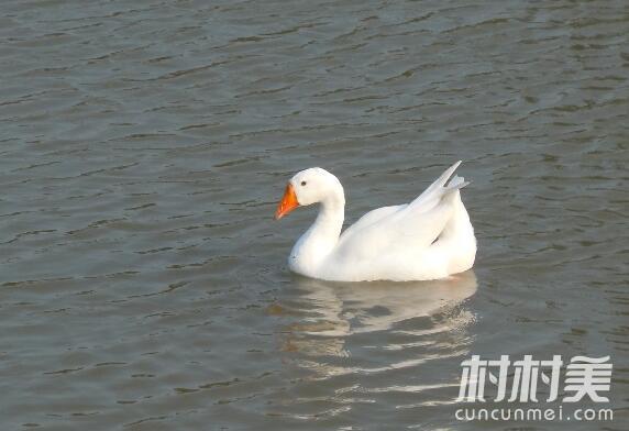 广西博白廖荣和返乡养鸭助农致富