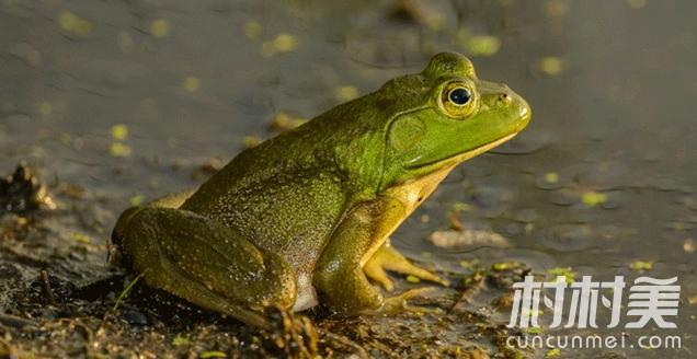 牛蛙养殖前景好,亩产值可达10万元以上