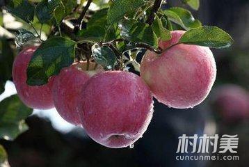 二仙坡:种出中国好苹果